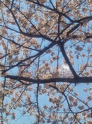 2012sakura-04.jpg
